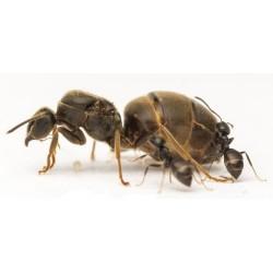 Lasius niger - черный садовый муравей (матка+ 5-15 рабочих)