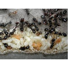 Поступление новых муравьев в наш каталог