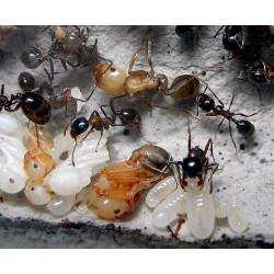 Красногрудый муравей-жнец (Messor denticulatus) (Матка + 10-20 рабочих)