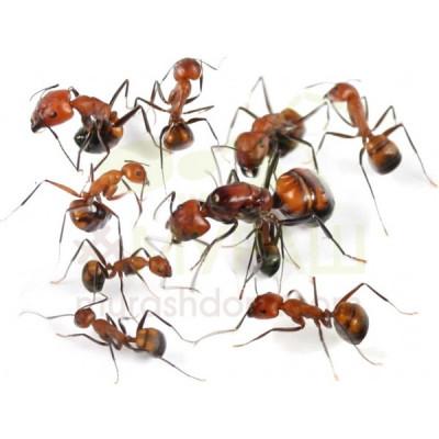 Муравьи Никобарские древоточцы (Camponotus nicobarensis) (Матка + 5-10 рабочих)